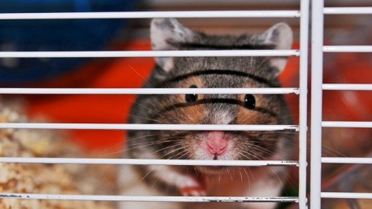 The wild cousins of this French hamster are hanging on for survival