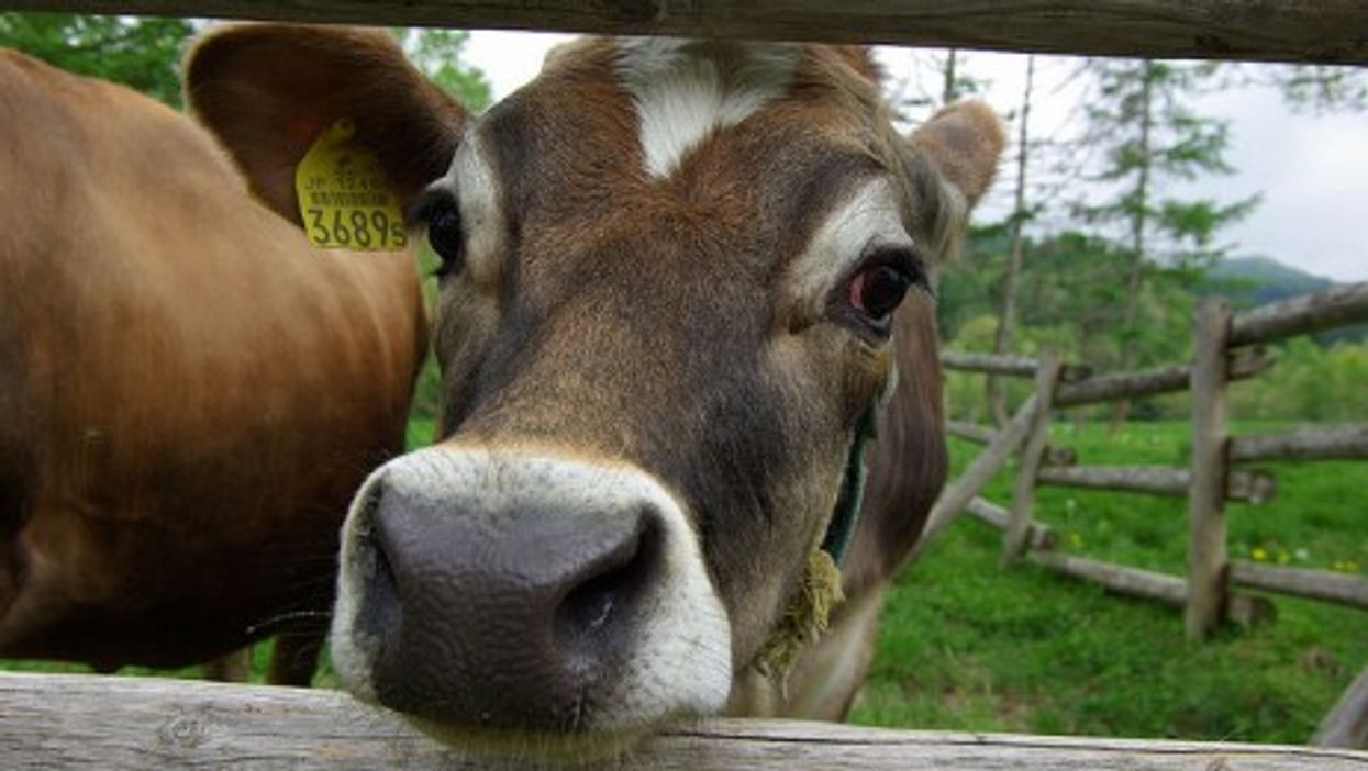This Japanese cow is far from Fukushima. Others aren't so lucky. (tsuda)