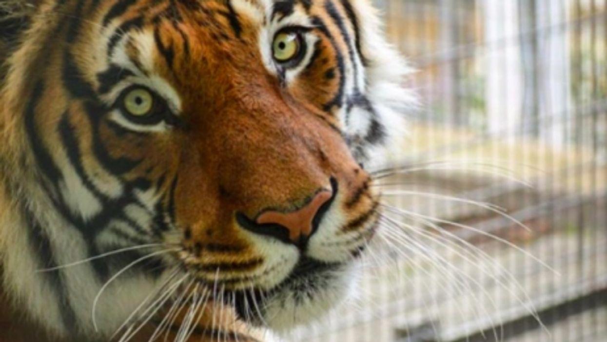 Tiger at Ansbach's Big Cat Sanctuary