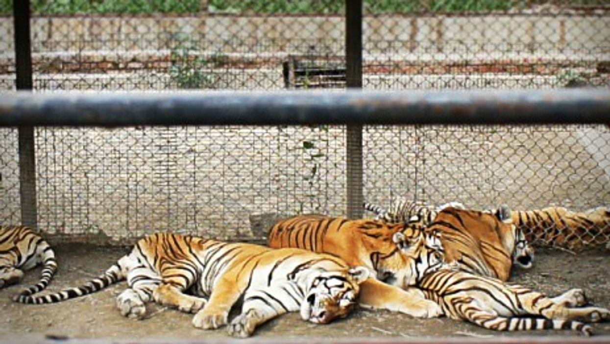 Tigers in a Chinese zoo