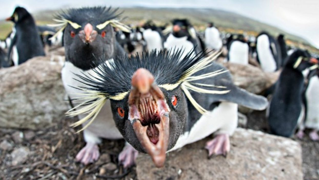 Unhappy rockhopper penguins on the Falklands