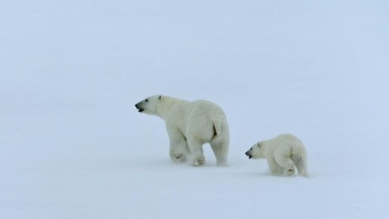 What Will Happen To The Last Of The Polar Bears ?