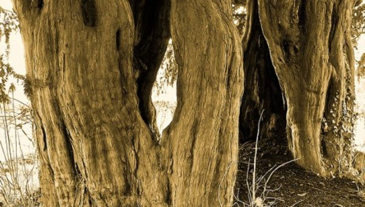 Yew tree bark contains an anti-tumor agent