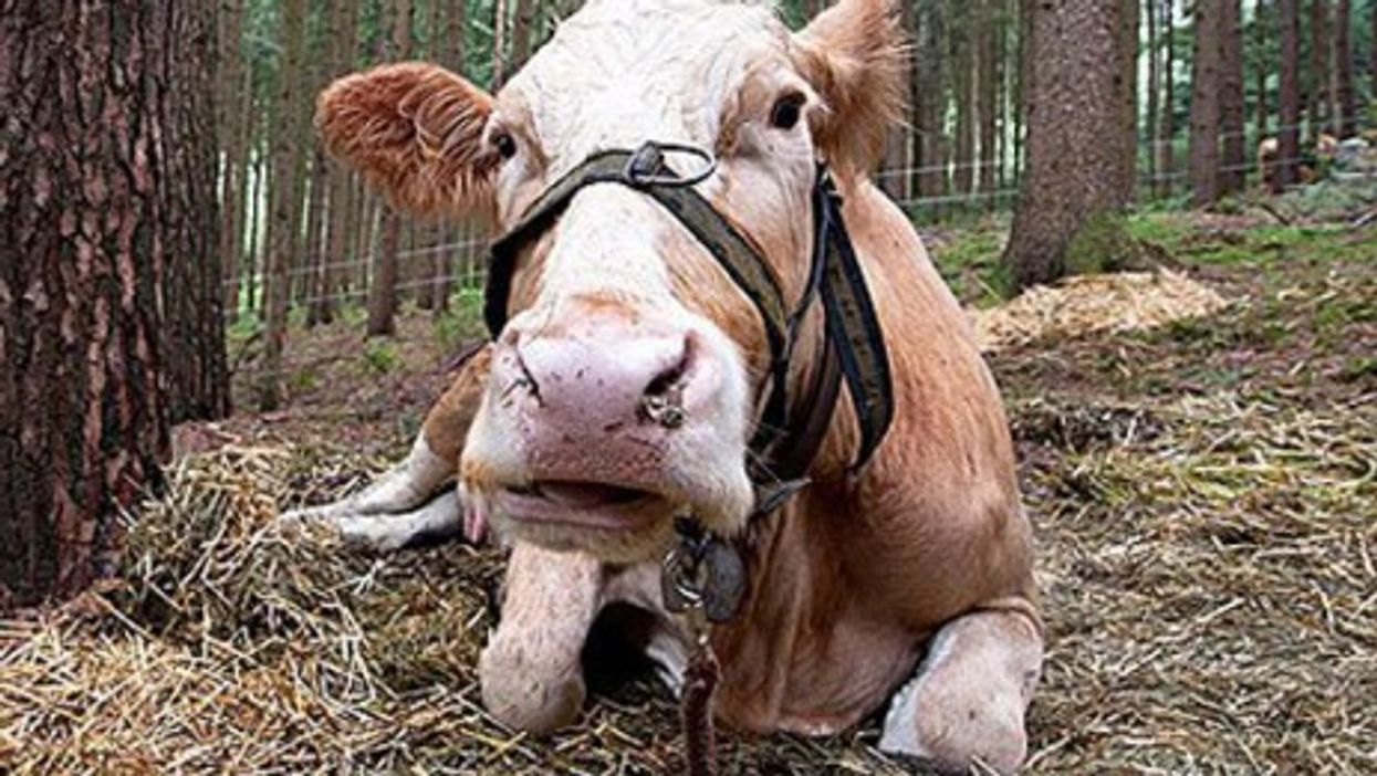 Yvonne, everybody's favorite Bavarian bovine (Facebook)
